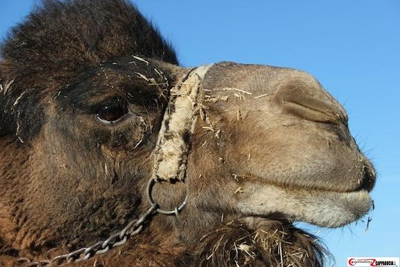 Camels in Cappadocia face closeup