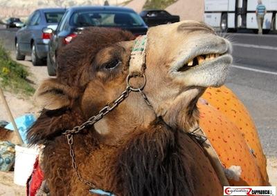 Camel gezi park protests in cappadocia