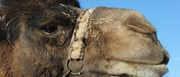 Riding Camels in Cappadocia?